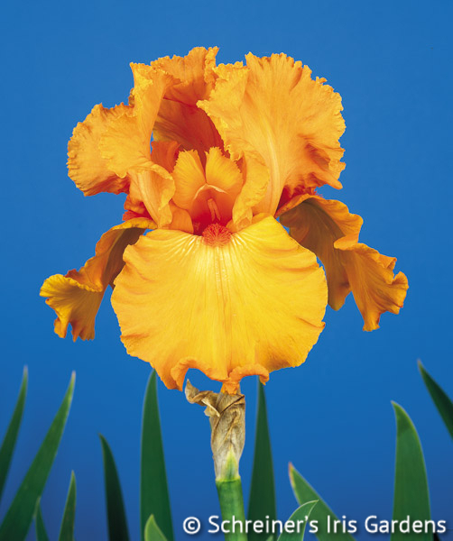 Savannah Sunset | Orange Iris