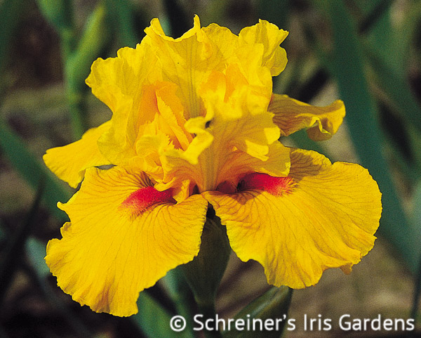 Season Ticket | Intermediate Bearded Iris