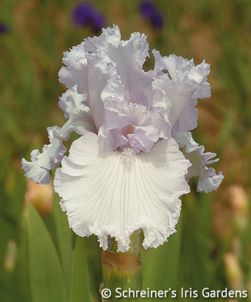Servin' Up Sparkle | Tall Bearded Iris