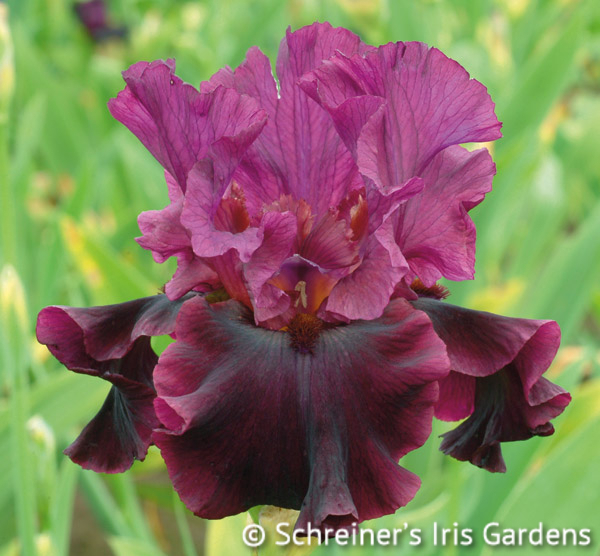 Silken Trim | Tall Bearded Iris