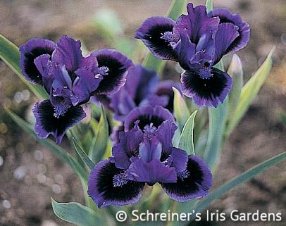 Smart | Dwarf Bearded Iris