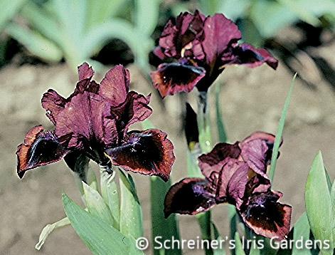 Snugglebug | Dwarf Bearded Iris