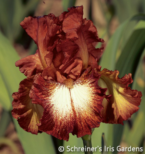 Spice Lord   Iris S-U