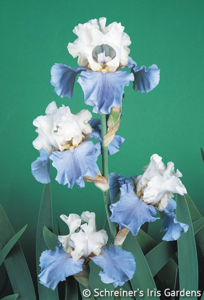Stairway to Heaven | Historical Bearded Iris
