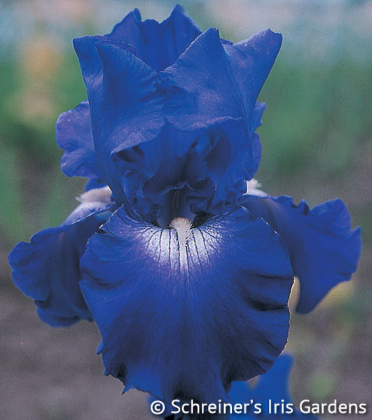 Stellar Lights | Historical Bearded Iris