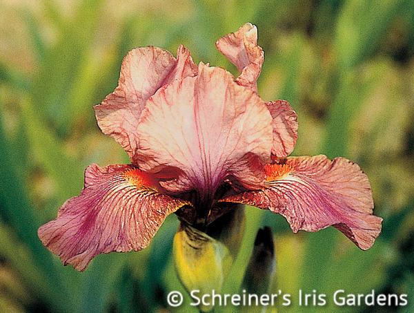 Strawberry Love | Intermediate Bearded Iris