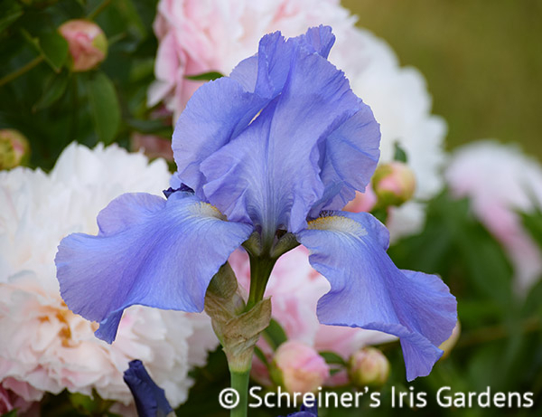 Sugar Blues | Reblooming Iris