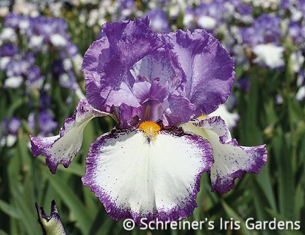 Swept Off My Feet | White Iris