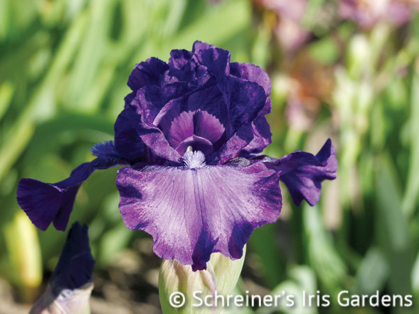 This and That | Intermediate Bearded Iris
