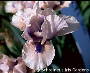 Tickety Boo | Dwarf Bearded Iris