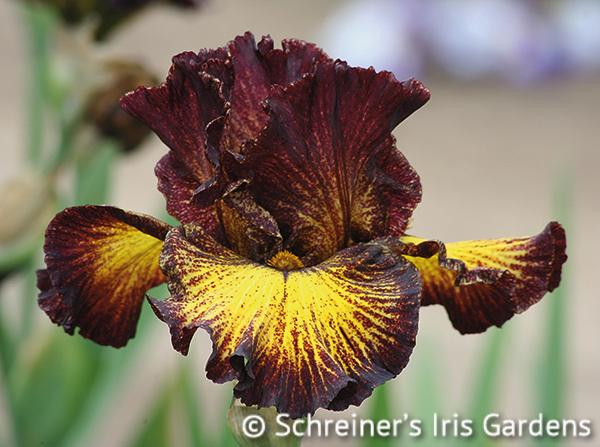Tuscan Summer | Iris S-U