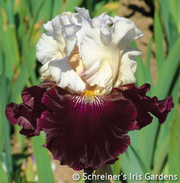 Twist of Sheree | Tall Bearded Iris