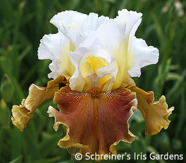 Urban Cowgirl | Tall Bearded Iris