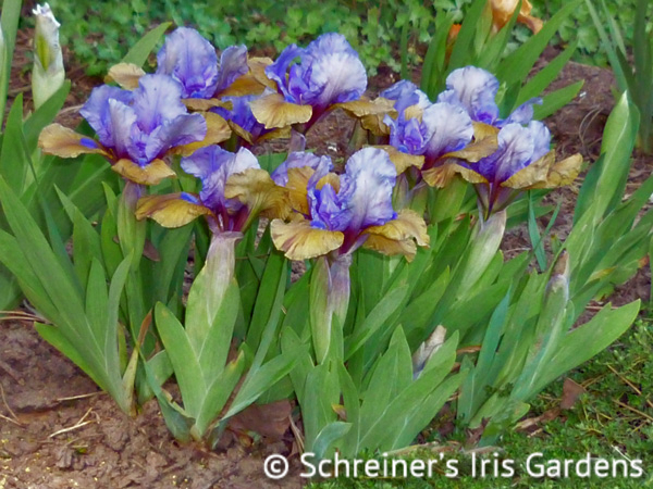 What Again | Dwarf Bearded Iris