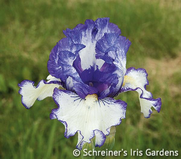 Whistle | Intermediate Bearded Iris
