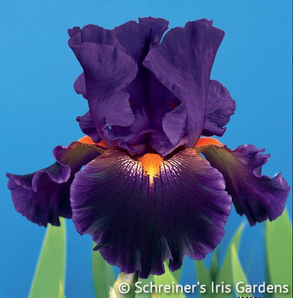 Witch's Wand | Tall Bearded Iris