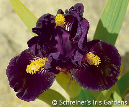 Zap | Dwarf Bearded Iris