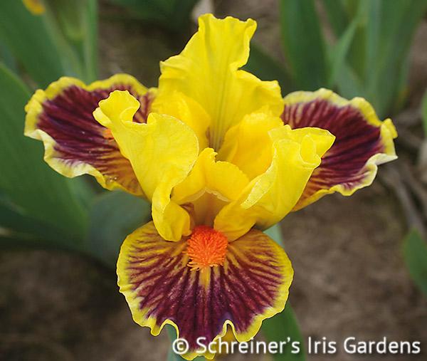 Zooboomafoo | Dwarf Bearded Iris