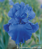 Image Blue Iris