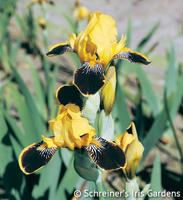 Image Bumblebee Deelite