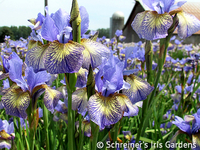 Image Shop Beardless Iris: Siberian, Louisiana and Japanese