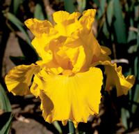 Image Yellow Iris