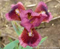 Image Dwarf Bearded Iris