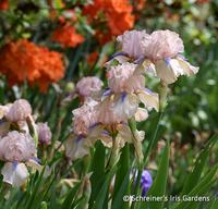 Image Intermediate Bearded Iris
