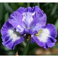 Image Siberian Iris