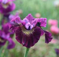 Image Purple