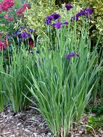 Image Japanese Iris
