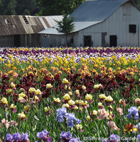 Image Iris  and Daylily Fertilizers