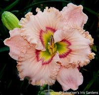 Image Daylilies