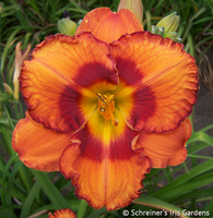 Image Apricot and Orange Daylilies