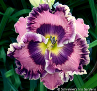 Image Violet-Purple and Lavender Daylilies