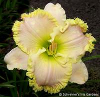 Image Creamy White Daylilies