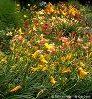 Image How to Grow & Care for Daylilies