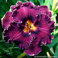 Image Discounted Daylilies