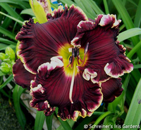Image Daylilies P-R