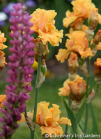 Image Potted Bearded Iris Collections - Free Shipping