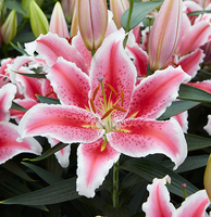 Image Oriental Lily Collections