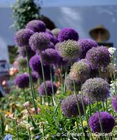 Image Allium in the Garden