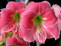 Image Amaryllis Bulbs for WINTER BLOOMS
