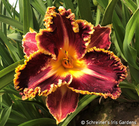 Image New! Daylily Special