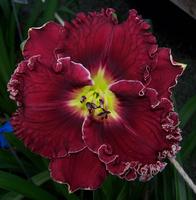 Image Maryott Daylilies Spring 2021