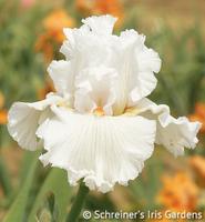 Image White Iris