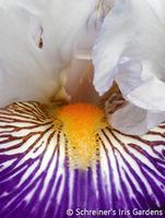 Image Bearded Iris