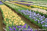 Iris Nursery | Iris Gardens