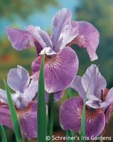 Image Beardless Iris