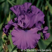 Image Purple Iris